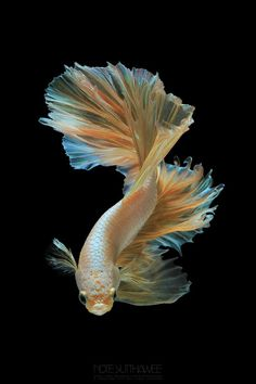dragon noteyn macro gold by macro Gold Dragon by noteyn You can find Betta fish and more on our website Pretty Fish, Beautiful Fish, Colorful Fish, Tropical Fish, Beautiful Creatures, Animals Beautiful, Carpe Koi, Fish Wallpaper, Fish Care