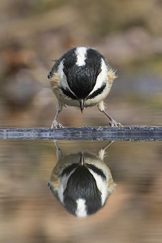 Birdwatching is a great activity in the Northern Pacific. Love this photo of a Coal Tit! #birdwatch #pinittowinit