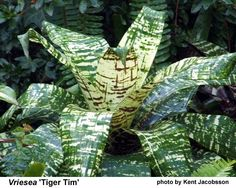 How For Making Your Landscape Search Excellent Vriesea 'Tiger Tim' Rain Garden, Garden Pool, Back Gardens, Outdoor Gardens, Tropical Flowers, Tropical Gardens, Purple Loosestrife, Air Plants, Shrubs