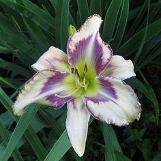 Une nouvelle variété à grandes fleurs odorantes, couleur blanc crème et œil violet, gorge verte. Pétales à bords gaufrés soulignés par un fin liseré pourpre. Longue floraison pour cette hémérocalle qui produit jusqu'à 12 boutons par tige. Feuillage persistant. #Hemerocalle