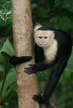 Catching the eye of a capuchin in Costa Rica