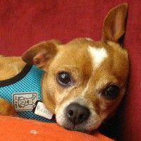 Cute+Muttville+mutt:+Picasso+2273+(Chihuahua+mix+|+Male+|+Size:+small+(6-20+lbs))
