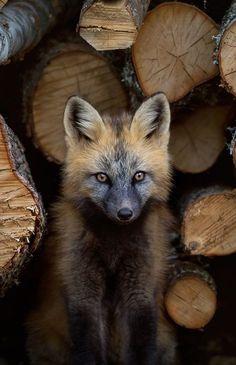 "beautiful-wildlife: ""Cross Fox by © bkcrossman "" - Liski - Animals Wild Nature Animals, Animals And Pets, Baby Animals, Funny Animals, Cute Animals, Amazing Animals, Animals Beautiful, Beautiful Beautiful, Cute Fox"