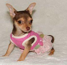 Merry - Beautiful Female Chihuahua Puppy!