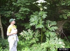 Giant Hogweed plant - Don't touch!  Just touching can lead to severe skin or eye irritation -- even permanent blindness.  North America.  Looks like Queen Anne's lace.