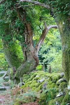 Dartmoor Trees    Newbridge Dartmoor