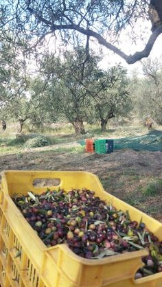 The olives getting ready to go to the mill #evo3oliveoil #lesvos #extravirgin #organic #harvest #whatsmyjourney #oliveoil #greece #foodie