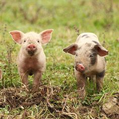 cute. But Beware! They are NOT Mini, Micro NOR Teacup pigs. There is NO such animal!!