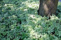 Perennial Ground Cover, Ground Cover Plants, Clover Lawn, Landscaping A Slope, Landscaping Ideas, Plants Under Trees, Covered Garden, Sloped Garden, Shade Plants