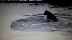 Crocodilo atacando leão em rio.