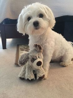 Differences Between Bichon Frise and Bichon Maltese Cute Puppies, Cute Dogs, Dogs And Puppies, Doggies, Animals And Pets, Baby Animals, Cute Animals, Baby Cats, Chien Shih Tzu
