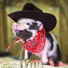 Little piggy cowboy...