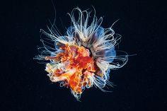 https://flic.kr/p/fe5W7Z | Cyanea capillata explosion