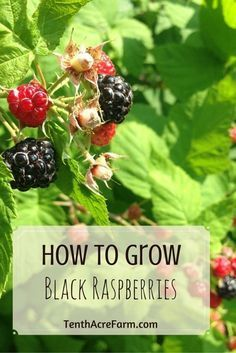 Growing black raspberries is a simple and rewarding experience, and they behave quite well in the small-scale, edible landscape. Here's how to grow them.