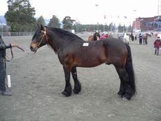 Dølehest - stallion Ristvedt Grane