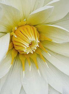 Pretty White & Yellow Dahlia - Favorite Photoz