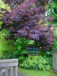 nice combo of purple smoke bush (Cotinus Coggygria) and Lady's Mantle (Alchemilla Mollis)