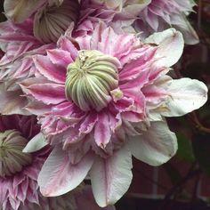 Clematis Josephine - Climbing Plants - Van Meuwen1000 x 1000 | 150.1KB | www.vanmeuwen.com