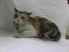 UNKNOWN STATUS, PLEASE KEEP SHARING !! Manhattan Center  LISA - ID#A0986621 I am an unaltered female, calico Domestic Shorthair. The shelter staff think I am about 8 years old. I weigh 6 pounds. I was found in NY 10001. I have been at the shelter since Dec 04, 2013.  FEMALE, CALICO, DOMESTIC SH,8 yrs STRAY - STRAY WAIT, NO HOLD Reason STRAY http://www.petharbor.com/pet.asp?uaid=NWYK.A0986621
