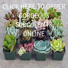 BEST place to order succulents online! Where To Buy Succulents, Buy Succulents Online, Wholesale Succulents, Succulents For Sale, Succulents In Containers, Cacti And Succulents, Planting Succulents, Planting Flowers, Succulent Party Favors