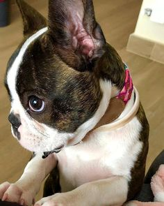 Cute Baby Dogs, Cute Baby Animals, I Love Dogs, Cute Puppies, Baby Boston Terriers, Boston Terrier Love, Pet Dogs, Dog Cat, Cute Animal Photos