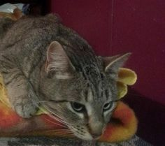 07/10/16 SL~~~ Has been at the rescue for over a year! Meet Tabby, a Petfinder adoptable Tabby - Grey Cat | Hartford, KY | Meet Tabby....She is one lucky girl. Tabby showed up at a home in a rural area. She was scared and would not allow the people to trap her. She gave birth to a litter of kittens which she hid & then developed mastitis. The kittens likely perished & realizing she needed help started trusting her caregivers. She is now super friendly & loves chasing the dogs at the rescue…