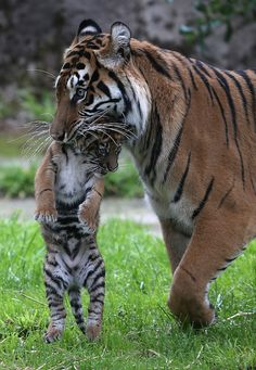 ebf1a99a8b magicalnaturetour  A two-month-old Sumatran tiger cub is carried by its  mother