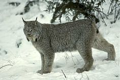 Linx in BC