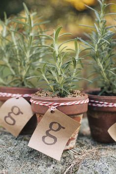 potted rosemary favors for the guests  Photography By /