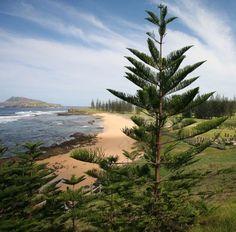 Norfolk Island pine <em>(Araucaria heterophylla,) </em> near Kingston, Norfolk Island. | Photo by Bertknot via Wikipedia