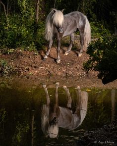 A lovely photoshoot i did with a silver miniature horse next to a small lake in a beautiful forrest. Miniature Horses, Small Lake, Silver Horse, Horse Photography, Equestrian, Woodland, Miniatures, Photoshoot, Pets
