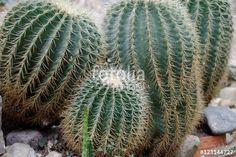 Cactus Plants, Stock Photos, Cactus, Flowers, Pictures, Cacti