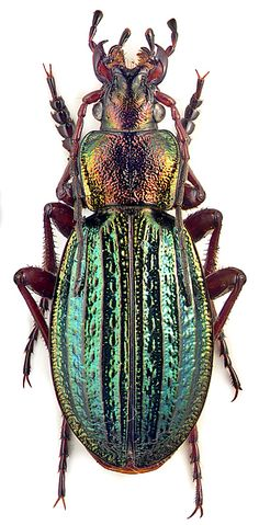 carabus-(morphocarabus)-mes. - ABSOLUTELY EXQUISITE!! - ALMOST TOO STUNNING TO BE REAL!! ⭕️