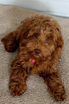 Red/Light Brown Cockapoo!