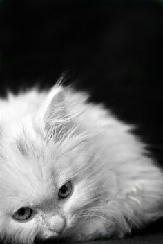 .white persian kitten ~ photo by Emre Topak.
