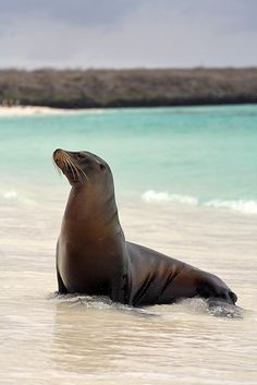 Sea Lion on Espanola Island