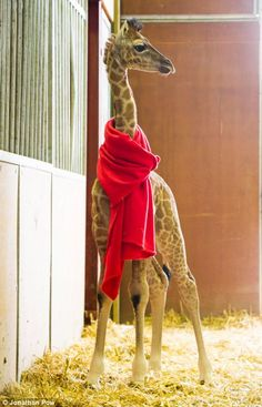 Brad the baby giraffe in a scarf at Flamingo Land, North Yorkshire. The two week old giraffe has been born at the coldest time of the year as temperatures dip well below freezing and heavy snow falls across the country