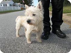 Camden, DE - Westie, West Highland White Terrier. Meet Chucky, a dog for adoption. http://www.adoptapet.com/pet/11888753-camden-delaware-westie-west-highland-white-terrier