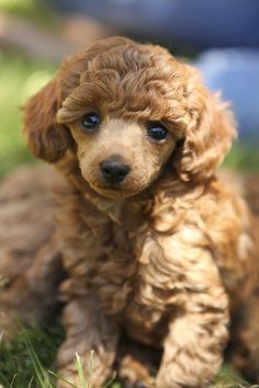A red toy poodle at six weeks. * Check out on pet dogs advices by visiting the link.