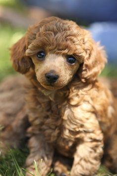 Princess, red toy poodle at six weeks.