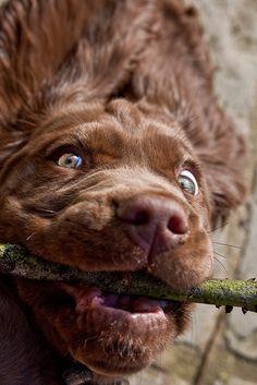 My Sussex Spaniel feels the same way Spaniel Breeds, Spaniel Puppies, Cutest Puppy, Puppy Love, Adorable Dogs, Cute Puppies, Sussex Spaniel, Clumber Spaniel, Dog Breeds List