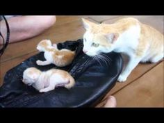 mother cat find the newborn cute baby cat funny cat 怒らない猫貓 進擊的巨貓 - YouTube