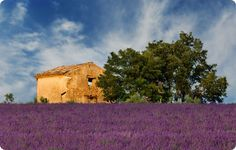 Someday, I'll sit in a field of lavender in France eating frog legs and goat cheese with truffles and thyme jelly with my daughter and be happy. I'll look back on all of this and laugh about how much it meant to me at the time, and how insignificant it really is.     -Provence, France