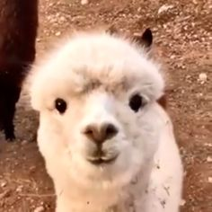 ❤️ Cute Baby Alpacas Compilation ❤️ Funny adorable Alpaca Compilation The alpaca is a species of South American camelid descended from. Cute Funny Animals, Funny Animal Pictures, Cute Baby Animals, Animals And Pets, Alpacas, Alpaca Funny, Cute Alpaca, Baby Llama, Silly Dogs