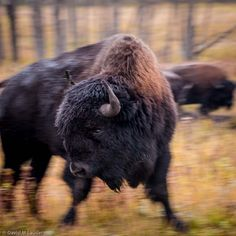 Bison at Riding Mountain National Park, Manitoba, Canada Riding Mountain National Park, I Am Canadian, Bison, Mother Nature, Habitats, Places To Travel, Buffalo, The Good Place, National Parks