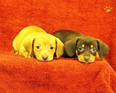 My future puppies! Chiweenies!!!!