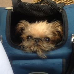 Meet Louis, who is a Brussels griffon. | The 50 Best Dogs In Bags On Instagram