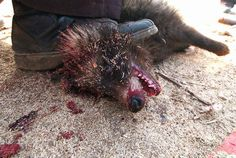 The glamour of fur. This is the victim of fur farming. I send love to every one of these animals.