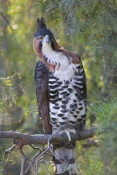 Ornate Hawk-Eagle   by WisteriaLane