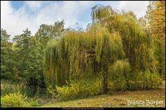 Kienhorstpark im Herbst (Okt 2016) - Baum am Schwanenteich #Berlin #Deutschland #Germany #biancabuergerphotography #igersgermany #igersberlin #IG_Deutschland #IG_berlincity #ig_germany #shootcamp #shootcamp_ig #pickmotion #berlinbreeze #diewocheaufinstagram #berlingram #visit_berlin #Herbst #autumn #canon #canondeutschland #EOS5DMarkIII #5Diii #Natur #nature #Reinickendorf #Baum #tree #colorful #bunt